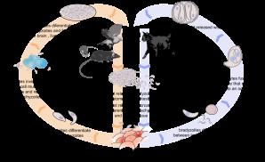 1177px-toxoplasmosis_life_cycle_en-svg