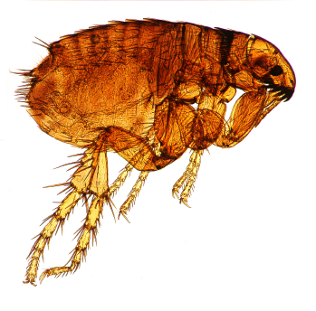 flea-ashx-1