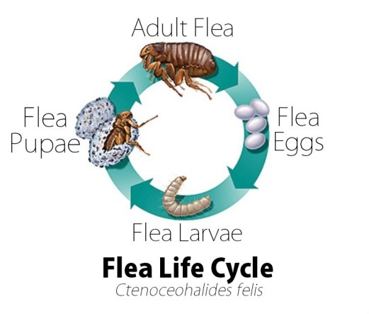 how to kill fleas in home