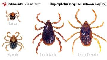 rhipicephalus_sanguineus-1