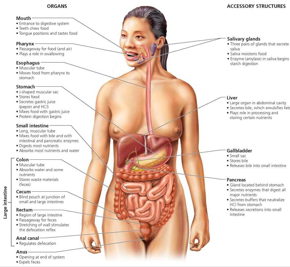 Digestive System Of Female Human The Digestive System - Biology Of Humans