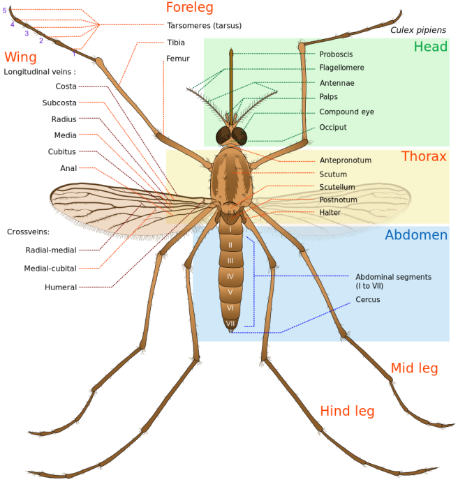 Culex_pipiens_diagram_en.svg