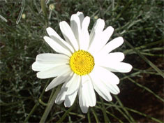 pyrethrum-250x250