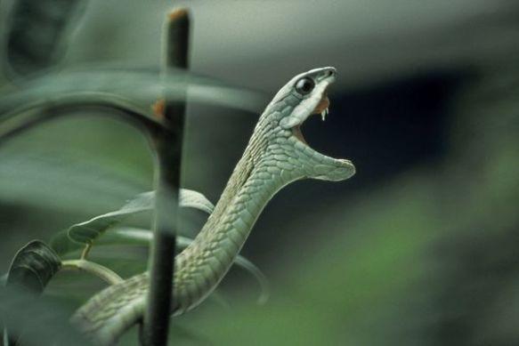 Boomslang Snake - Showing fangs