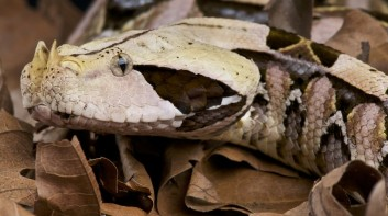 gaboon-viper-hiding-leaves-820x458 (1)