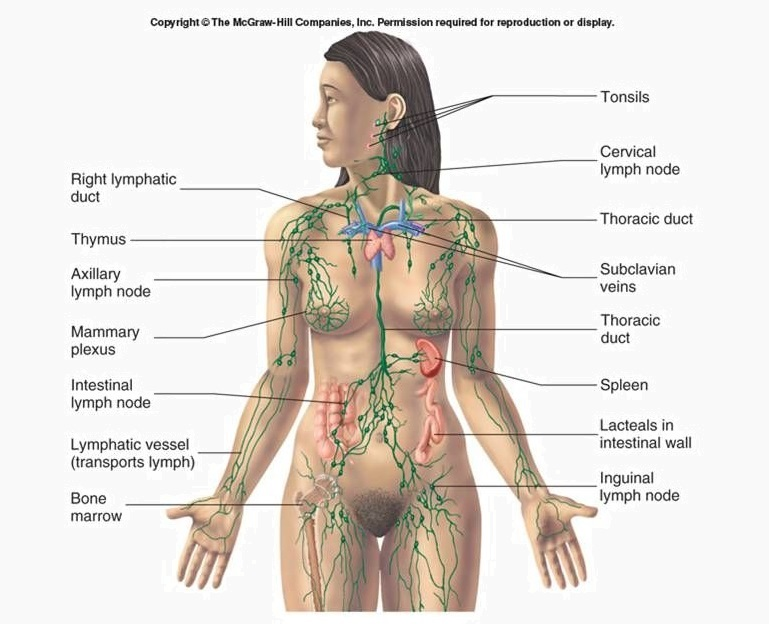 Lymphatic-system-diagram