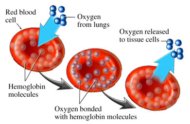 oxygentransport2