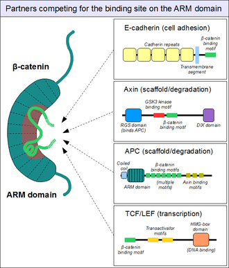 330px-Beta-catenin-ARM-domain-interactions.png