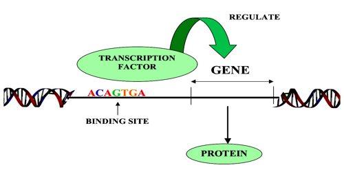 Transcription-Factor0