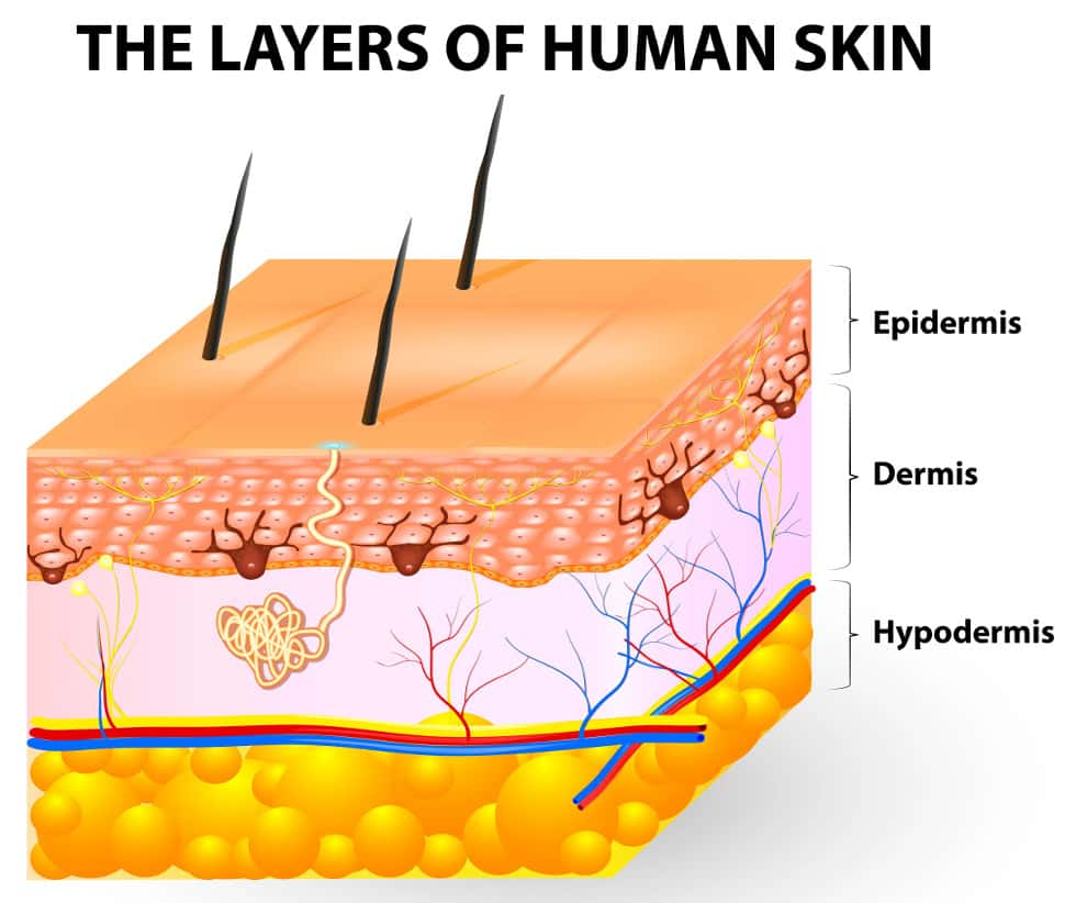 The-Layers-of-human-skin-epidermis-dermis-hypodermis