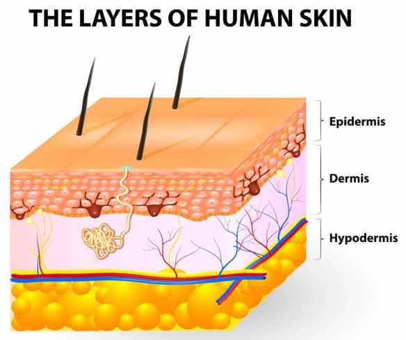 The-Layers-of-human-skin-epidermis-dermis-hypodermis