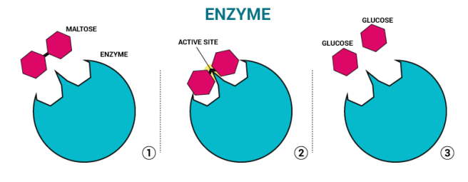 enzyme_2